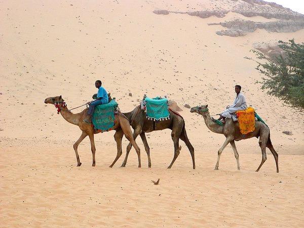 사막낙타의 혹과 단봉낙타 쌍봉낙타, 변온동물같은 정온동물인 낙타