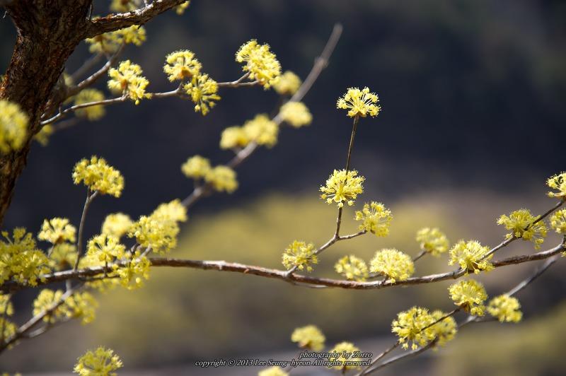 의성산수유꽃