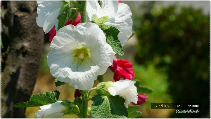 하얀접시꽃