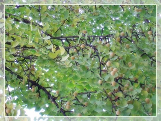 프라하의 은행 나무