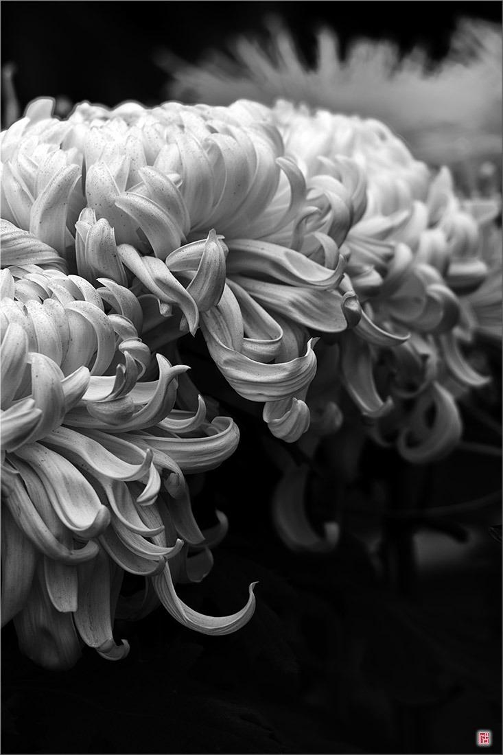 [삼성NX500] 秋菊