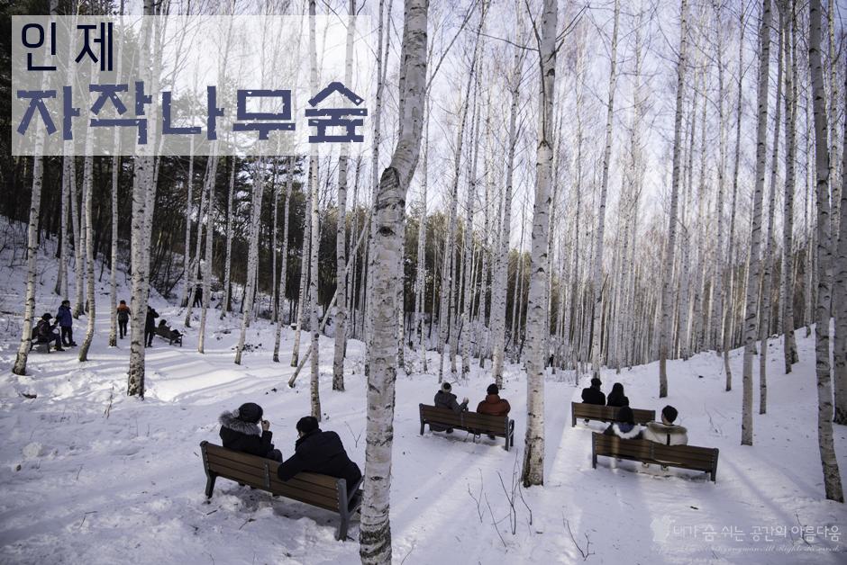 [겨울 최고의 명소, 자작나무숲] 제주도에서 직접 찾아 간 원대리 자작나무숲