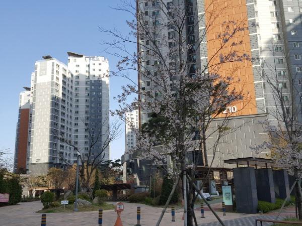 김포 신도시 벚꽃