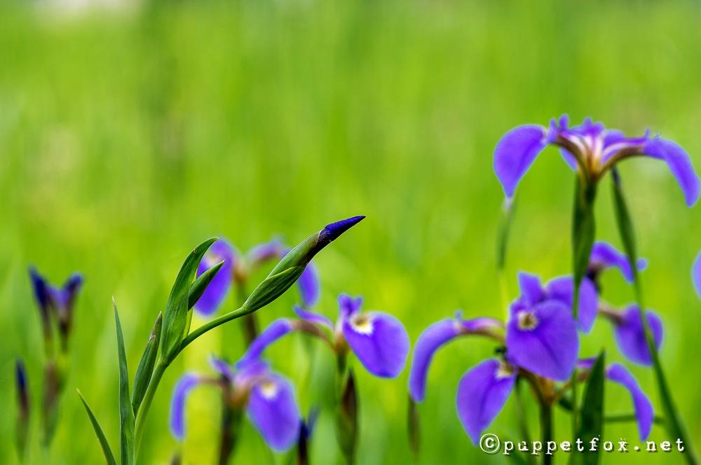 창포원-붓꽃-0511-11