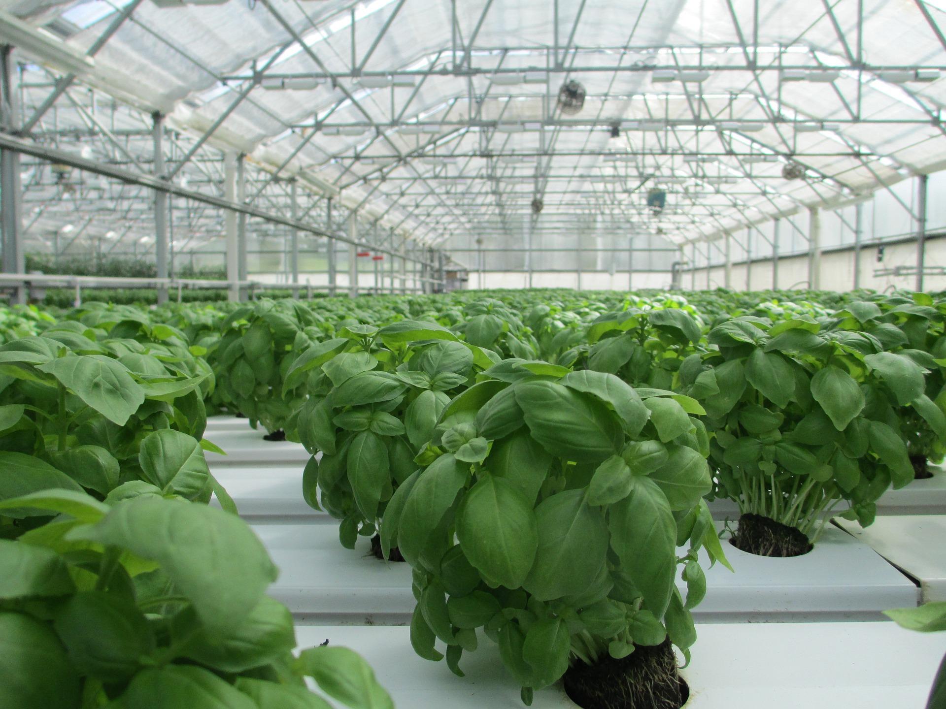 Выращивание зелени в теплице зимой: секреты для 26