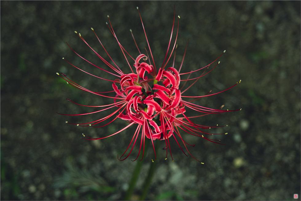 [삼성NX500] 꽃무릇5